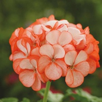 Geranium Divas Orange Ice F1