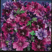 Malva Mystic Merlin Seeds