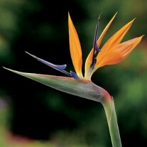 Brian's patience is rewarded as bird of paradise flowers