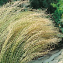 Grass Stipa Pony Tails