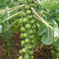 Brussels Sprout Crispus F1 Seeds