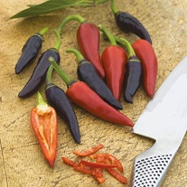Pepper (Hot) Gusto Purple F1