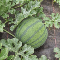 Watermelon Fascino F1 Seeds
