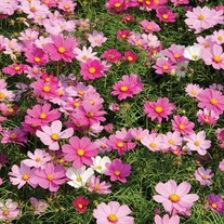 Cosmos Dwarf Sensation Mixed