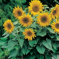 Sunflower Pacino