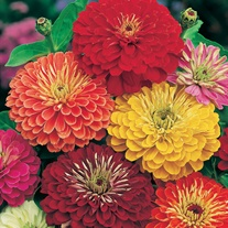 Zinnia Giant Double