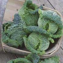 Cabbage Caserta F1 Seeds