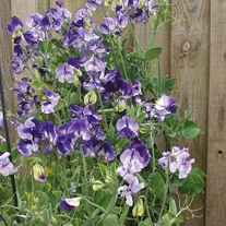 Sweet Pea Solway Blue Vein Seeds