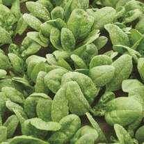 Spinach Cello F1 Seeds