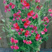 Sweet Pea Solway Serenade Seeds