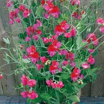 Sweet Pea Solway Serenade Seeds
