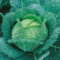 Get Growing Cabbage Savoy - Ormskirk