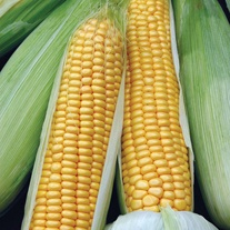 David Domoney, Get Growing Sweetcorn