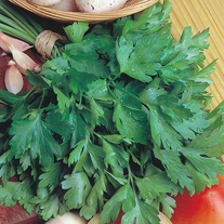 Parsley Giant of Italy Seeds