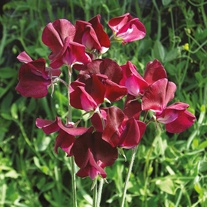 Sweet Pea Beaujolais Seeds