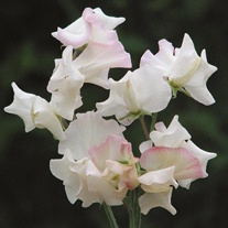 Sweet Pea Mollie Rilstone Seeds