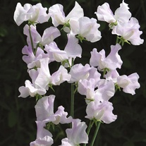 Sweet Pea Percy Thrower Seeds