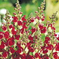 Antirrhinum Seeds - Night & Day