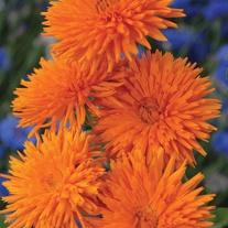 Calendula Orange Porcupine