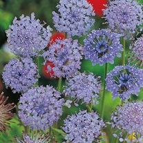 Didiscus Blue Lace