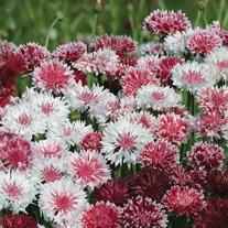 Cornflower Classic Romantic