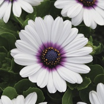 Osteospermum Akila White Purple Eye