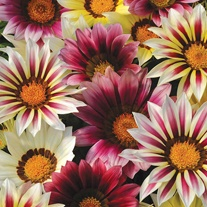 Gazania New Day Strawberry Shortcake F1