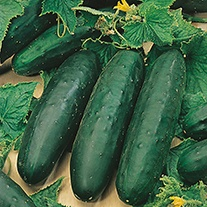 Cucumber Marketmore (Indoor or Outdoor) Plants