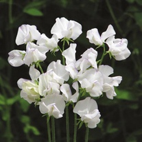Sweet Pea Albutt Blue Seeds
