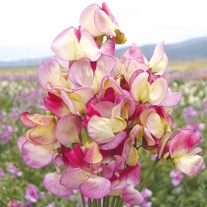Sweet Pea Spanish Dancer Seeds
