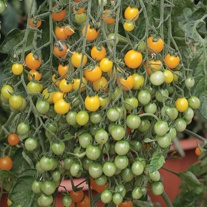 Tomato (Cherry) Candy Tots F1 Seeds
