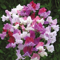 Sweet Pea Counterpoint Seeds
