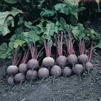 Beetroot Pablo F1 Seeds