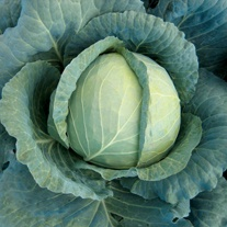 Cabbage Landini F1 Seeds