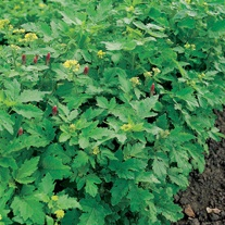 Green Manure Autumn/Winter Mix Seeds