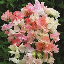 Sweet Pea Frills & Blushes Seeds