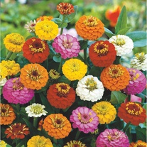 Zinnia Lilliput Mixed Seeds