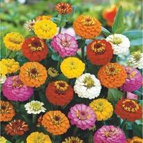 Zinnia Lilliput Mixed Seeds