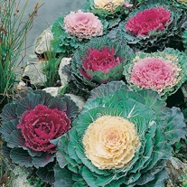 Cabbage Ornamental Fringed Mixed Seeds