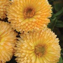 Calendula Apricot Daisy Seeds