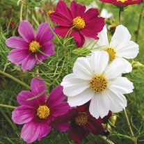 Cosmos Tetra Versailles Mixed Seeds