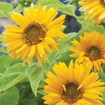 Sunflower Santa Lucia Seeds