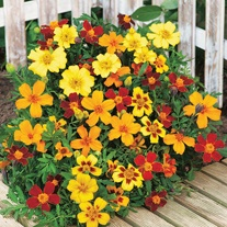 Marigold (French) Favourite Mixed Seeds
