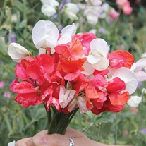 Sweet Pea Father and Daughter Seeds