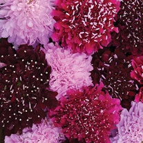 Scabious Summer Fruits Seeds