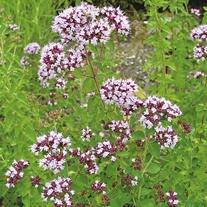 Wild Marjoram Seeds