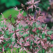 Ragged Robin Seeds