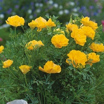 Californian Poppy XL Yellow Seeds