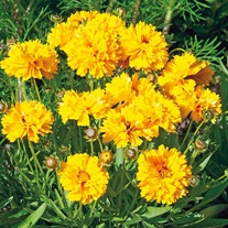 Coreopsis Sundrops Seeds