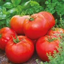 Tomato (Beefsteak) Big Daddy F1 Seeds